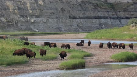patak : Herd of bison on Little Missouri River - North Dakota