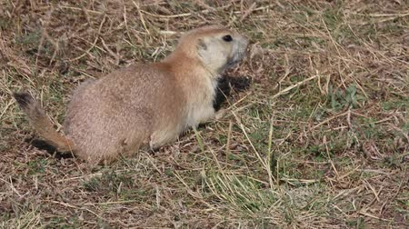 jíst : Wild prairie dog - North Dakota