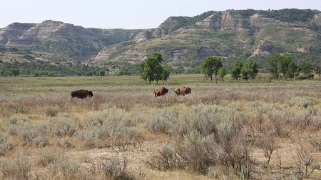 kürk : Bison in Roosevelt National Park - North Dakota