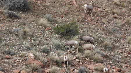 kürk : Bighorn sheep - Colorado Stok Video