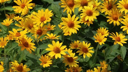 margarida : Yellow bush daisy flowers