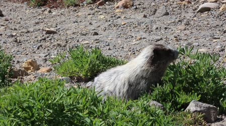 rongeur : Marmot manger - Mt Rainier NP, Washington