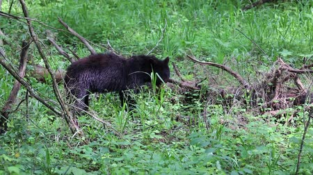 kürk : Wild black bear, Tennessee