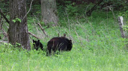 füstös : Bears on the edge of the forest, Tennessee
