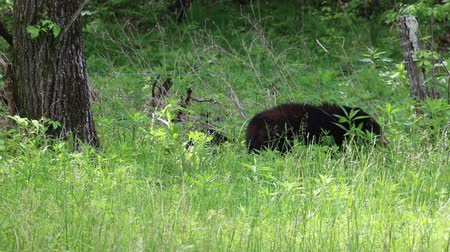 kürk : Black bears on clearing, Tennessee