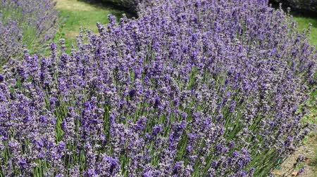 insetos : Bees in lavender