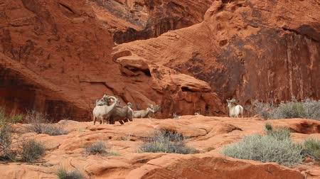 valley of fire : Group of desert bighorn sheep, Nevada