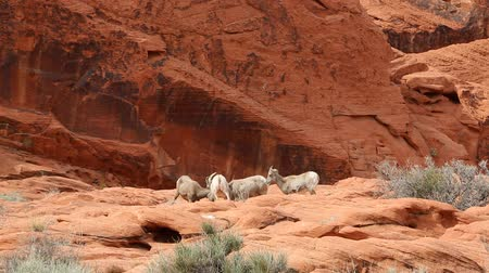 valley of fire : Four desert bighorn sheep, Nevada Stock Footage