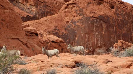 valley of fire : Desert bighorn sheep, Nevada Stock Footage