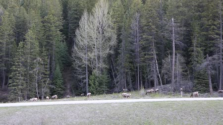 ingiliz columbia : Elk herd grazing, Yoho NP, Canada Stok Video
