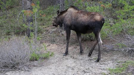 kürk : Female moose - Jasper NP, Canada Stok Video