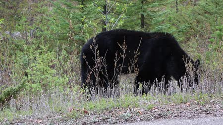 np : Black bear near road, Jasper NP, Canada Stock Footage