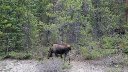 alce : Moose family in forest, Jasper NP, Canada