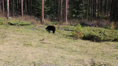 kürk : Black bear on the clearing, Jasper NP, Canada