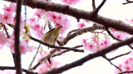 cerezos en flor : white-eye