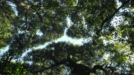coroa : the crown shyness