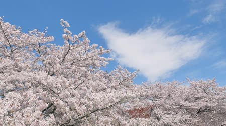 detay : landscape of the cherry blossom
