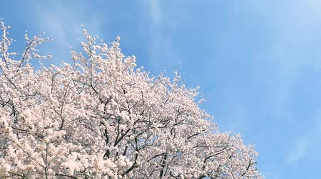 kiraz : landscape of the cherry blossom
