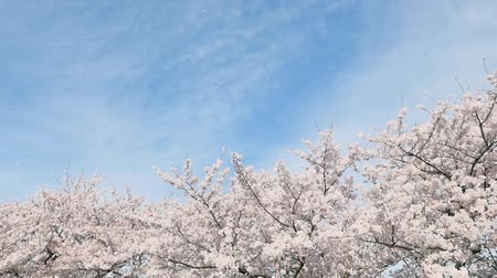 kiraz : landscape of the cherry blossom, slow motion
