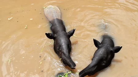 indicus : malayan tapir eating vegetable food in pond.