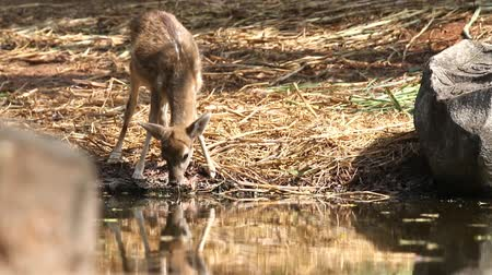 forest animals : Hog deer drink water Stock Footage