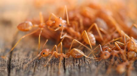 муравей : Team work group of red ant