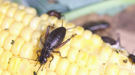kriket : Field Cricket, Gryllus Stok Video