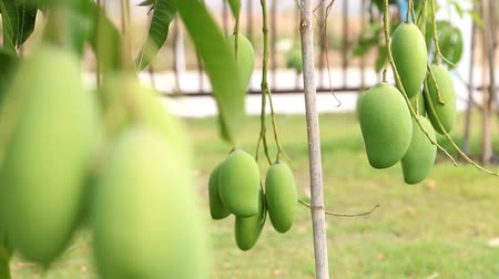 üretmek : Green mango on tree branch.slide dolly shot.