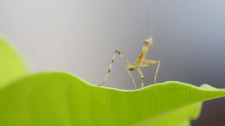 av : Praying Mantis dancing on green leaf, Macro close up mode.