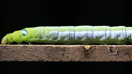 hernyó : Macro close up Caterpillar walking on wood stick.
