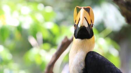 esőerdő : Close up a Great Hornbill bird, HD Clip. Stock mozgókép