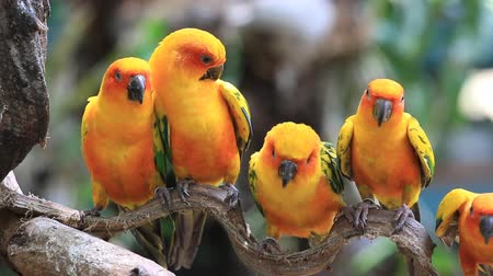 bird family : Cute Sun Conure parrot bird group on tree branch, HD Clip Stock Footage
