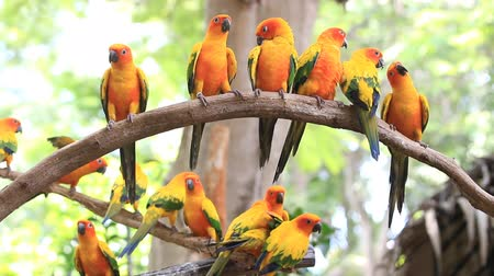 ara papagáj : Cute Sun Conure parrot bird group on tree branch, HD Clip Stock mozgókép