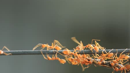 муравей : Group of red weaver ant carrying food, teamwork concept. r