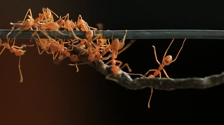 муравей : Group of red weaver ant carrying food, teamwork concept.