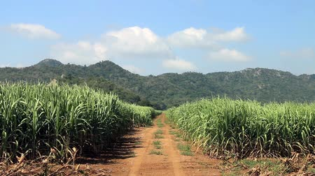 сахар : Road on sugar cane field ready for harvest. Стоковые видеозаписи