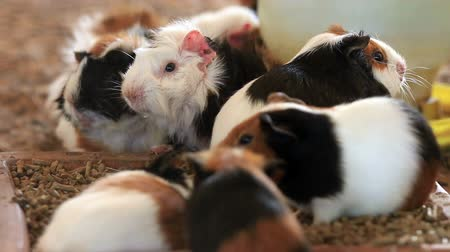 świnka morska : Guinea pig feeding, Close up.