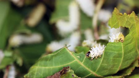 silkworm : Macro close up,Silk worms eating, feeding mulberry leaves.