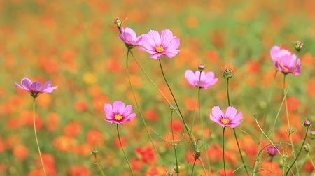 esinti : Orange and purple cosmos flowers swaying in the breeze.