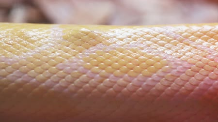 змей : Close up Golden Thai Python (Python bivittatus) snake skin. Стоковые видеозаписи