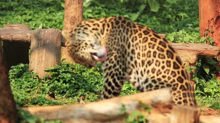 leopard cat : Indochinese Leopard. Stock Footage