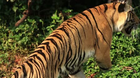 tigris : Indochinese Tiger. Stock mozgókép