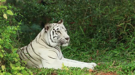 kaplan : White Tiger resting. Stok Video