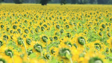 girassóis : Sunflowers field in breeze,shallow follow focus Vídeos