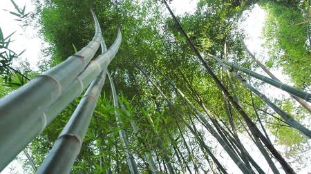 bamboo forest : Green bamboo in wind breeze