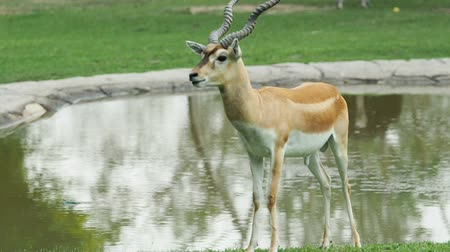 antilop : antelope standing and feeding grass.