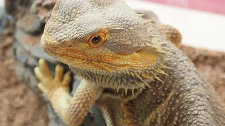 pogona : Close up a Bearded Dragon head.