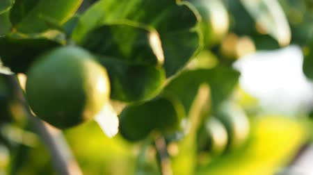cytryna : Camera panning, Lemon on tree branch.