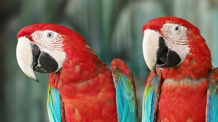 ara papagáj : Two Red and Green Macaws Perching. Stock mozgókép