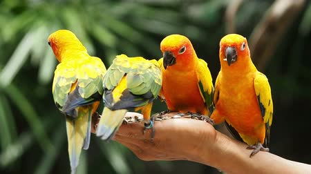 bird family : Close up Cute Sun Conure parrot bird.